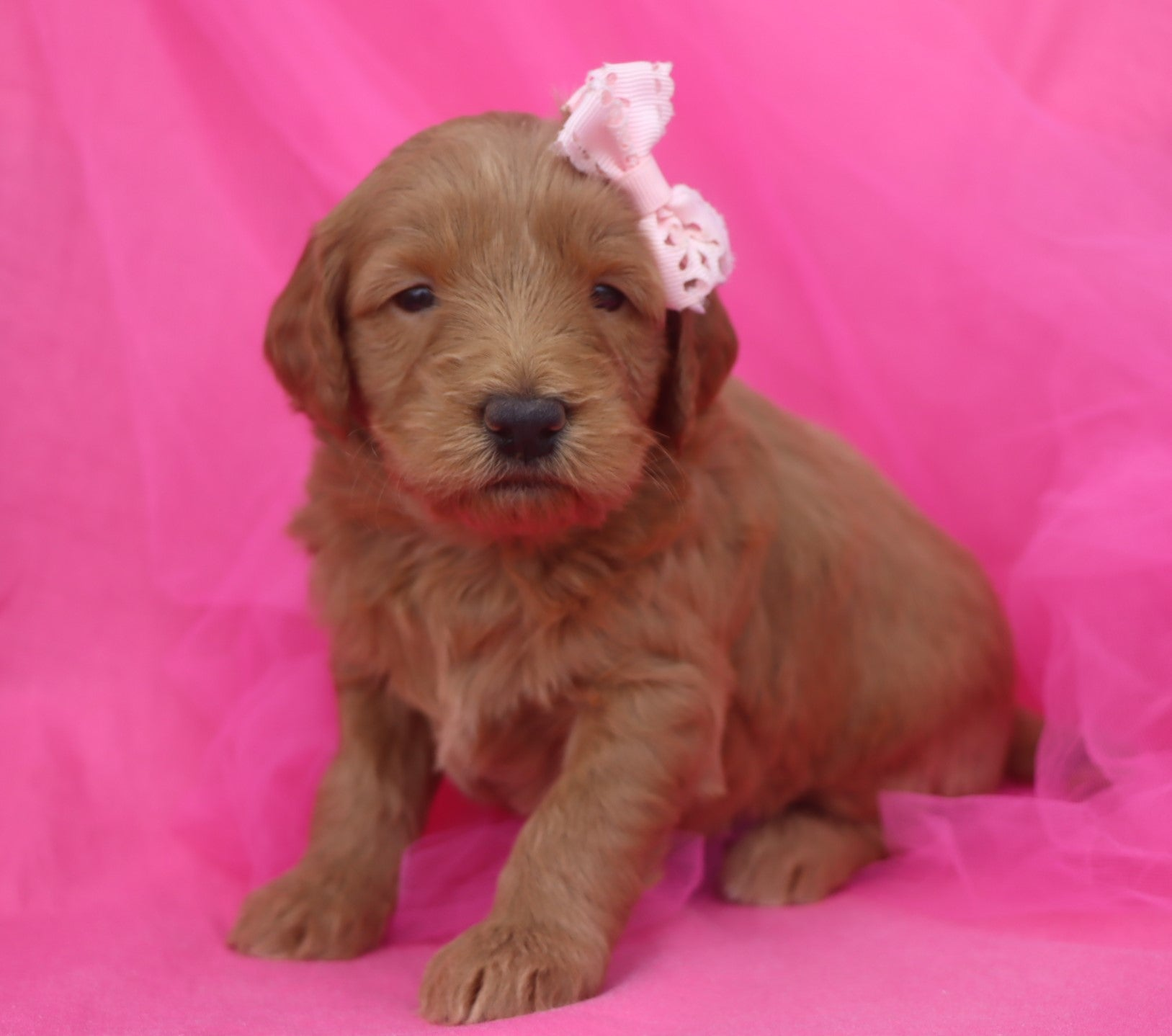 Pepsi Female F2 Mini Goldendoodle Puppy