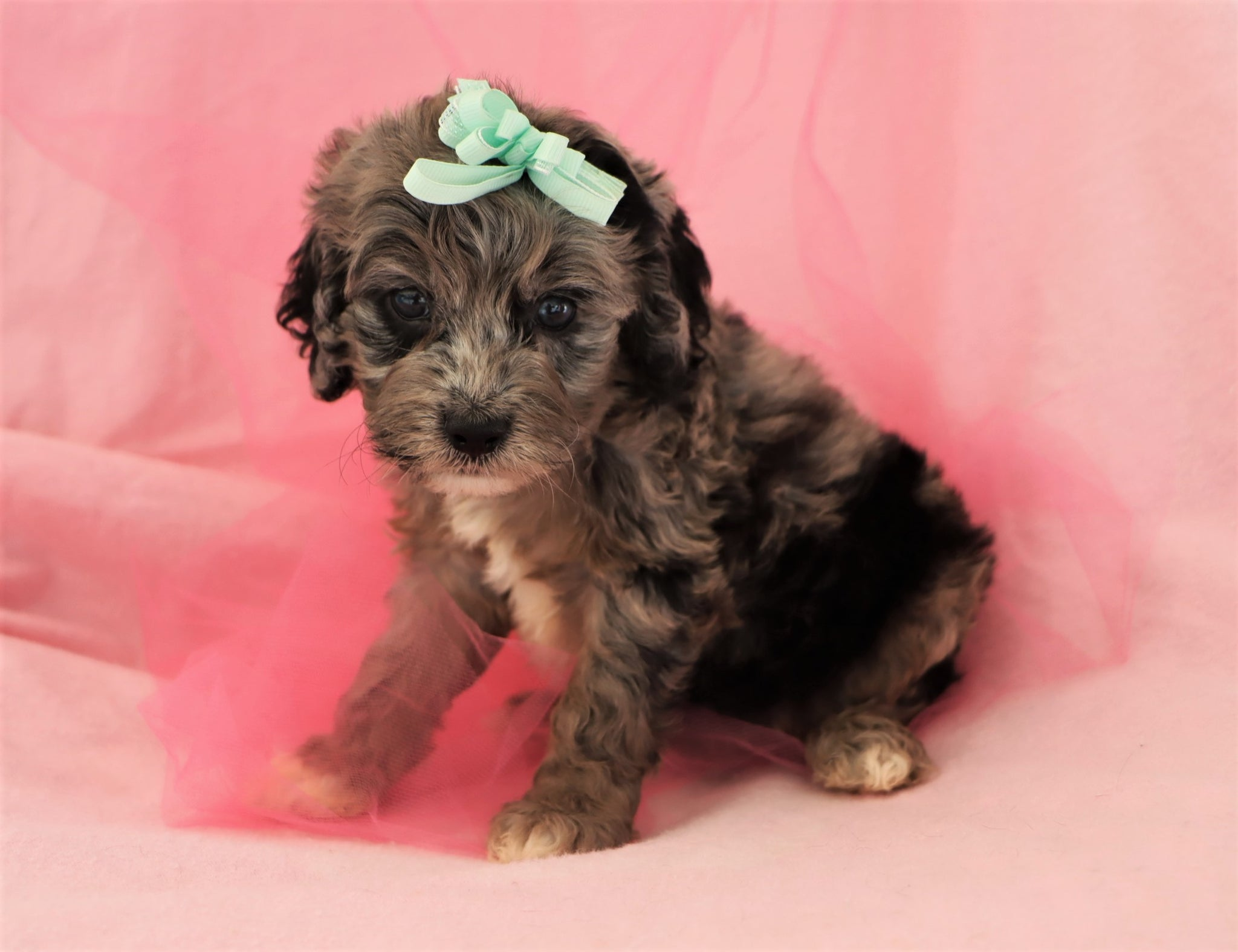 Reserved Sapphire Female Merle Mini Cockapoo Puppy
