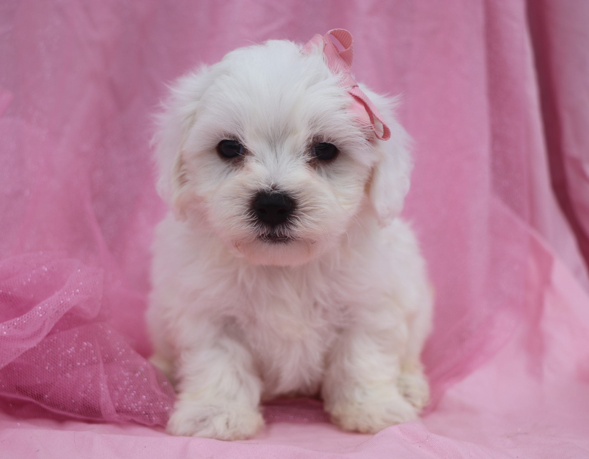 *RESERVED*Marshmallow Female Teacup Maltichon Puppy