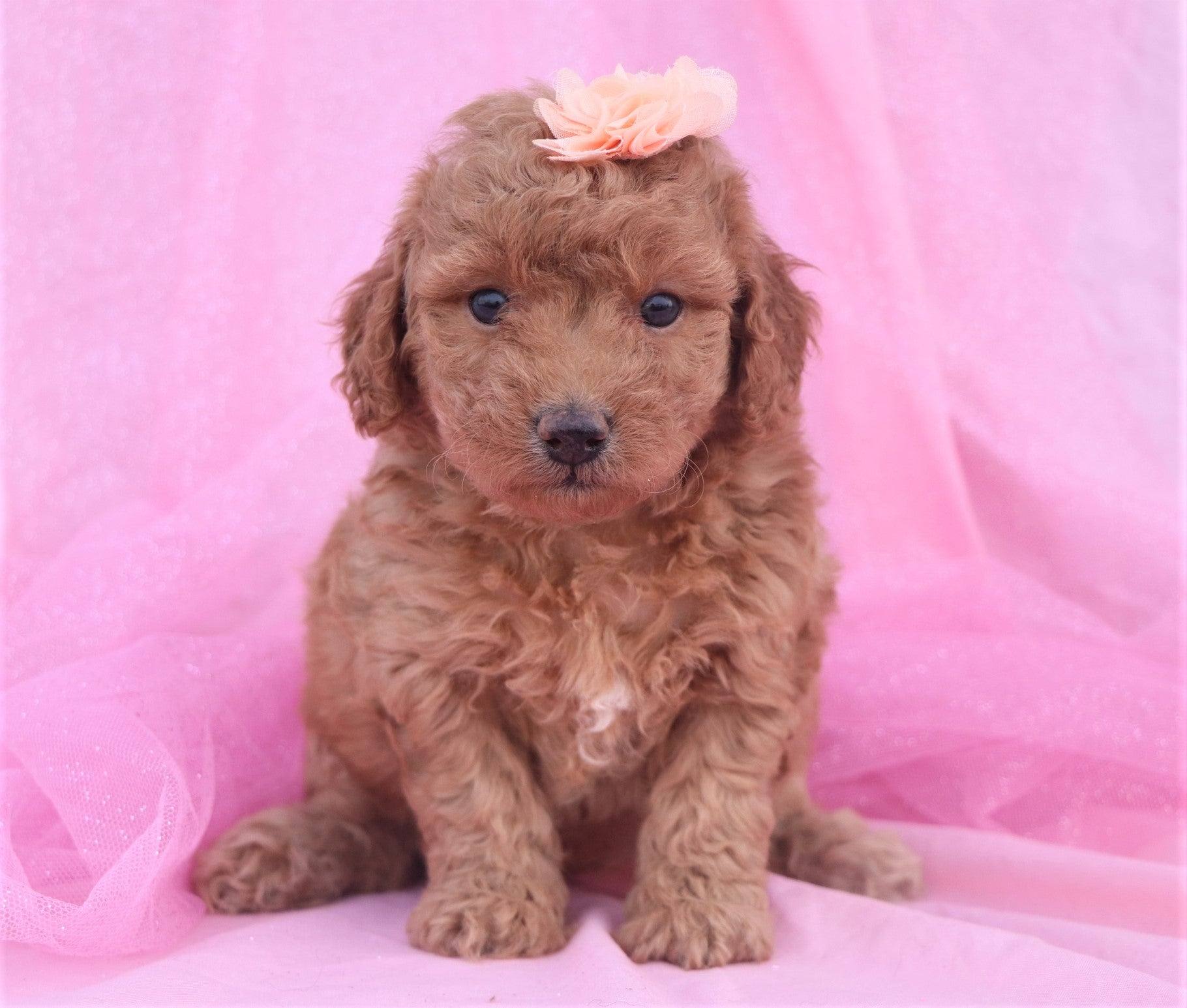 *RESERVED*Simone Female F1B Labradoodle Puppy