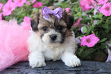 *RESERVED* Geraldine Female Teacup Teddy Bear Puppy