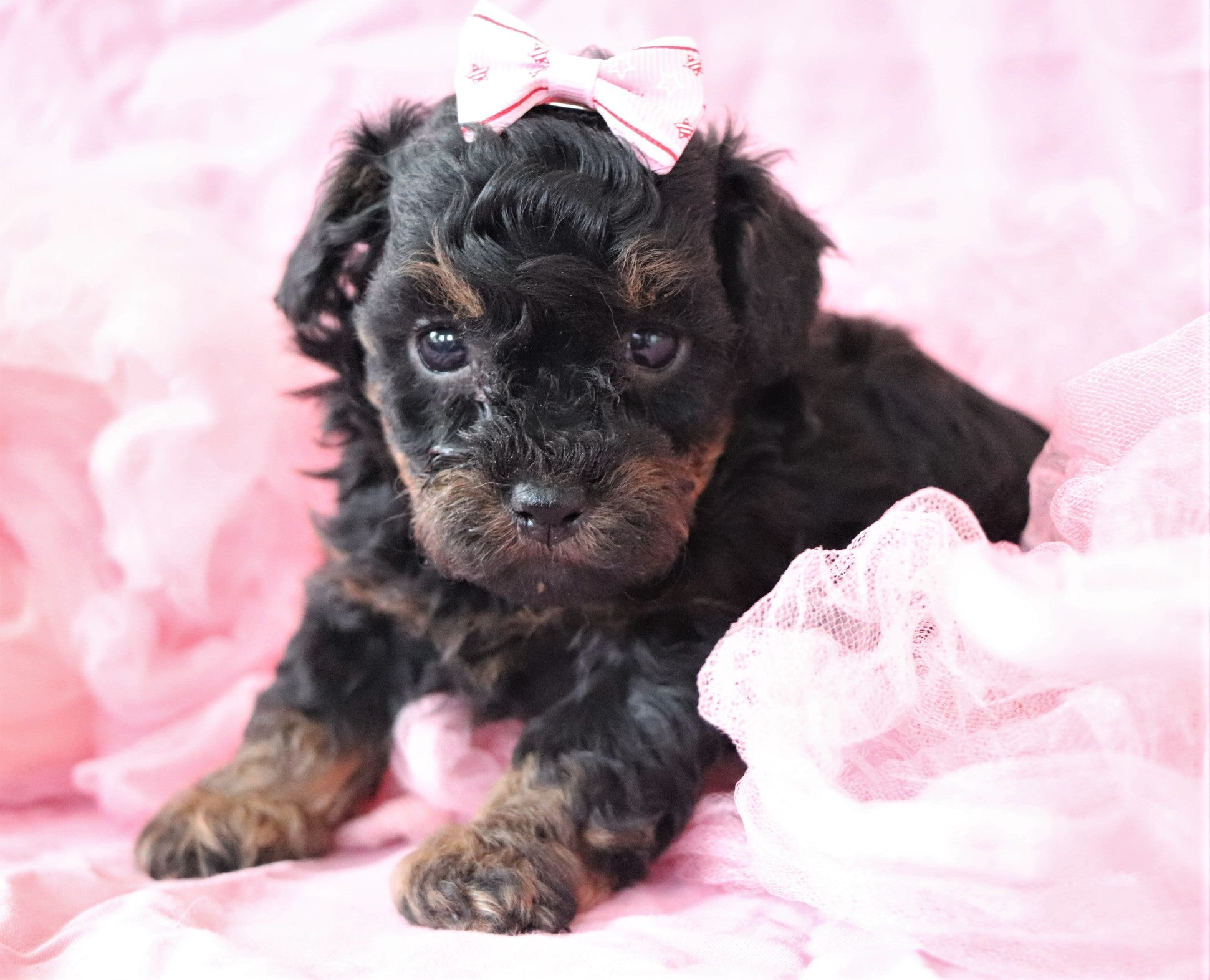 *RESERVED* Piper Female Teacup AKC REGISTERED Poodle Puppy