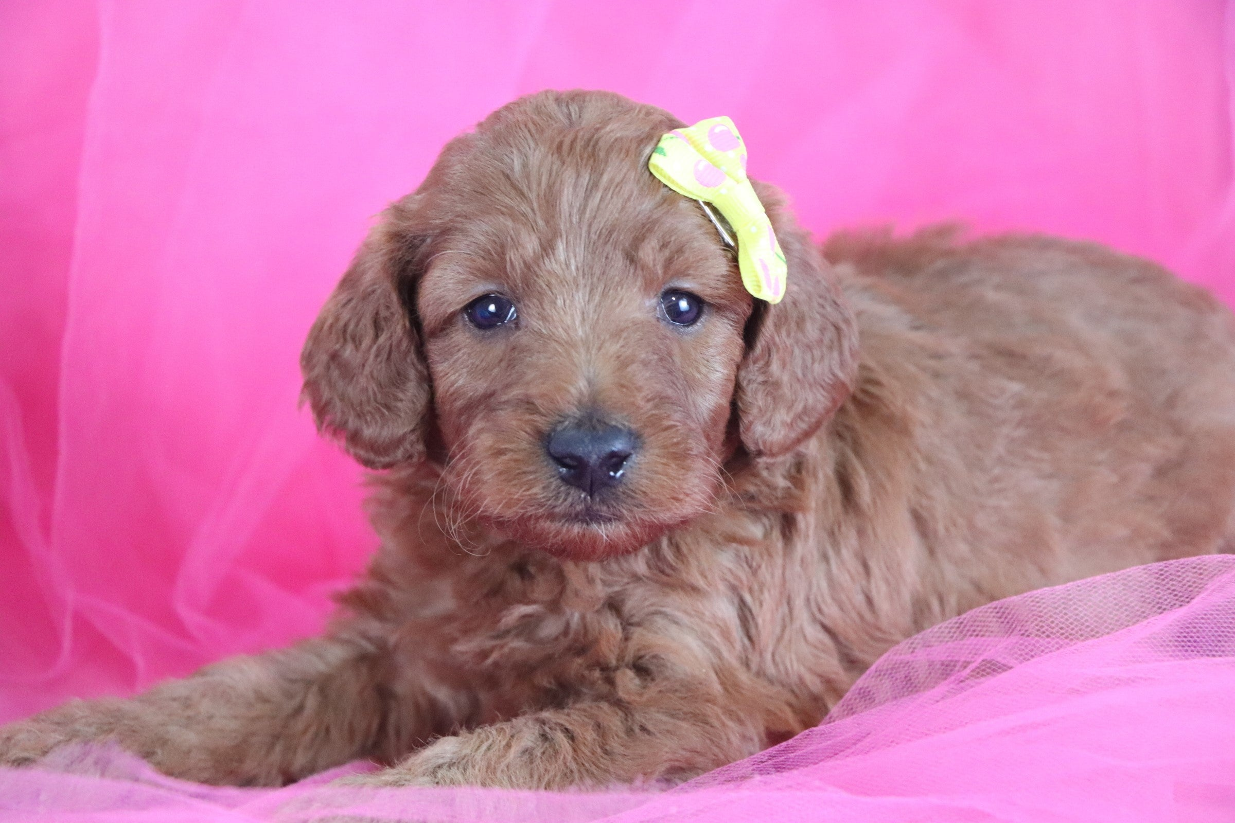 *RESERVED* Lily Female F1B Mini Irishdoodle Puppy