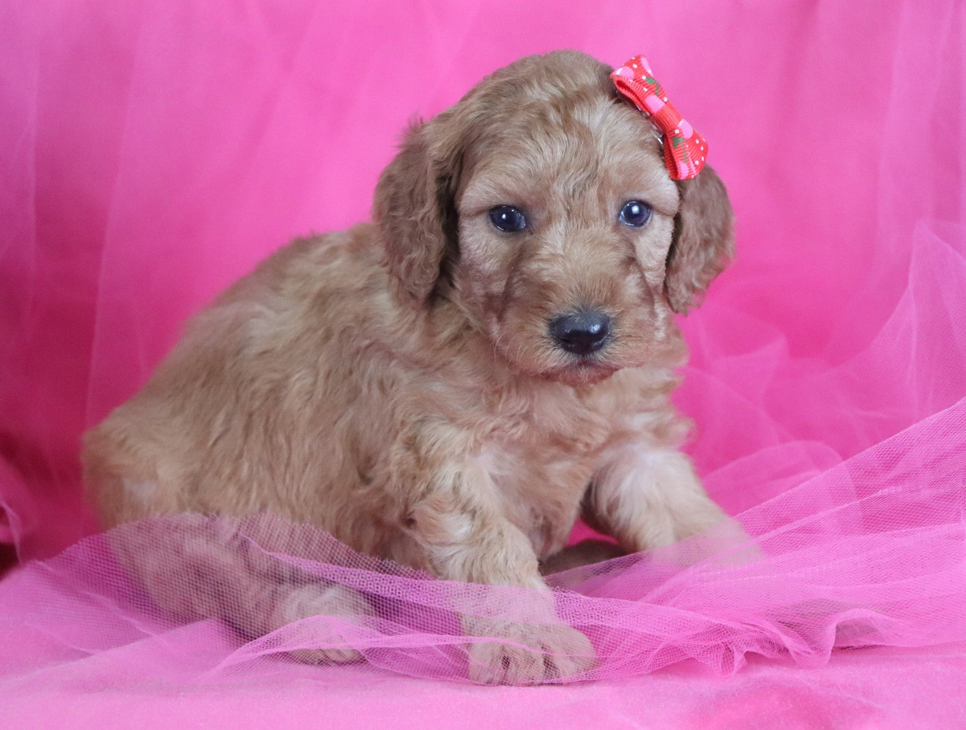 Chloe F1B Mini Irishdoodle Puppy
