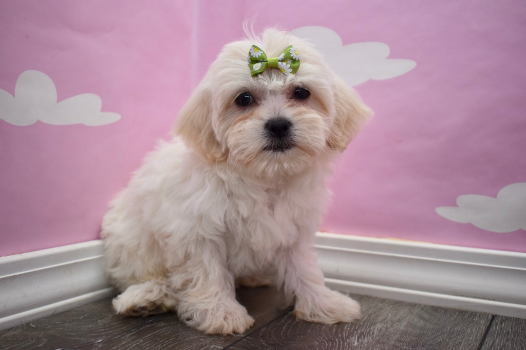 Teddy Bear Puppies | Happytail Puppies | Family Dog Breeders