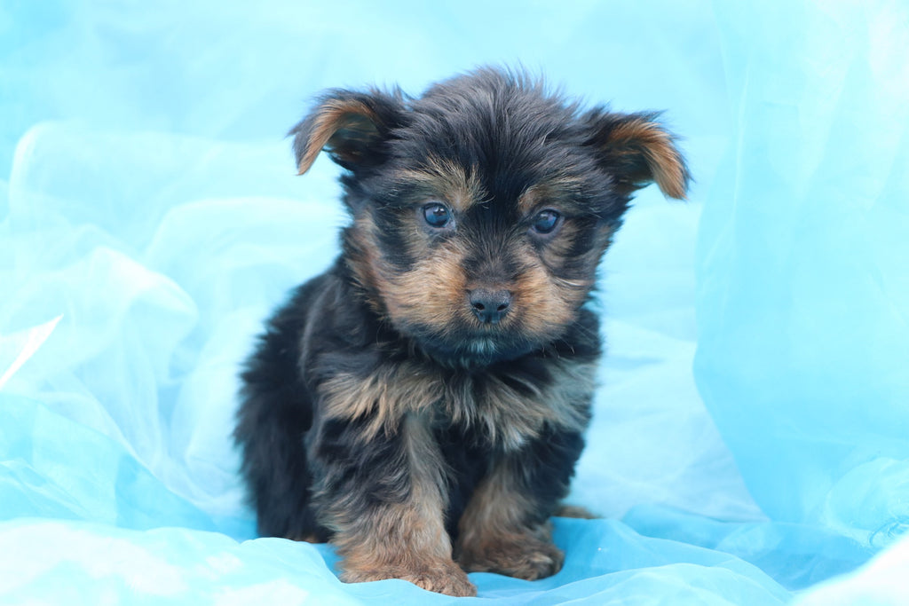 Flyer Male Teacup Yorkie Puppy