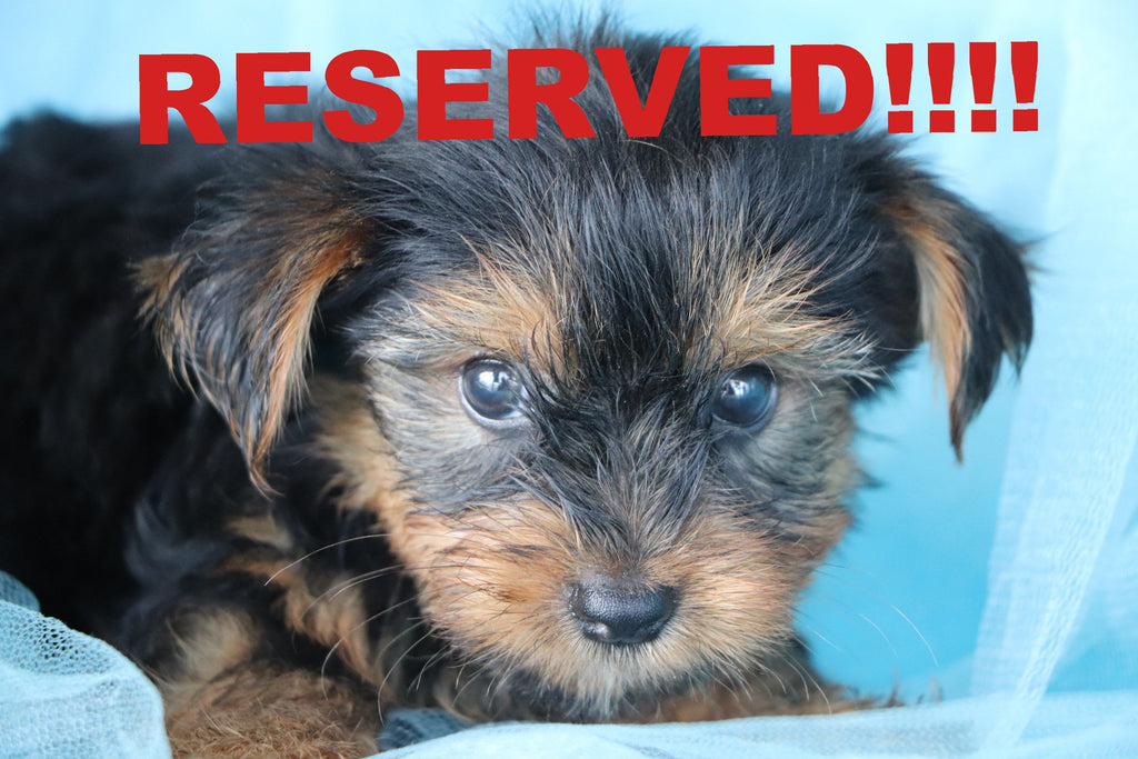 Frogie Male Teacup Yorkie Puppy*