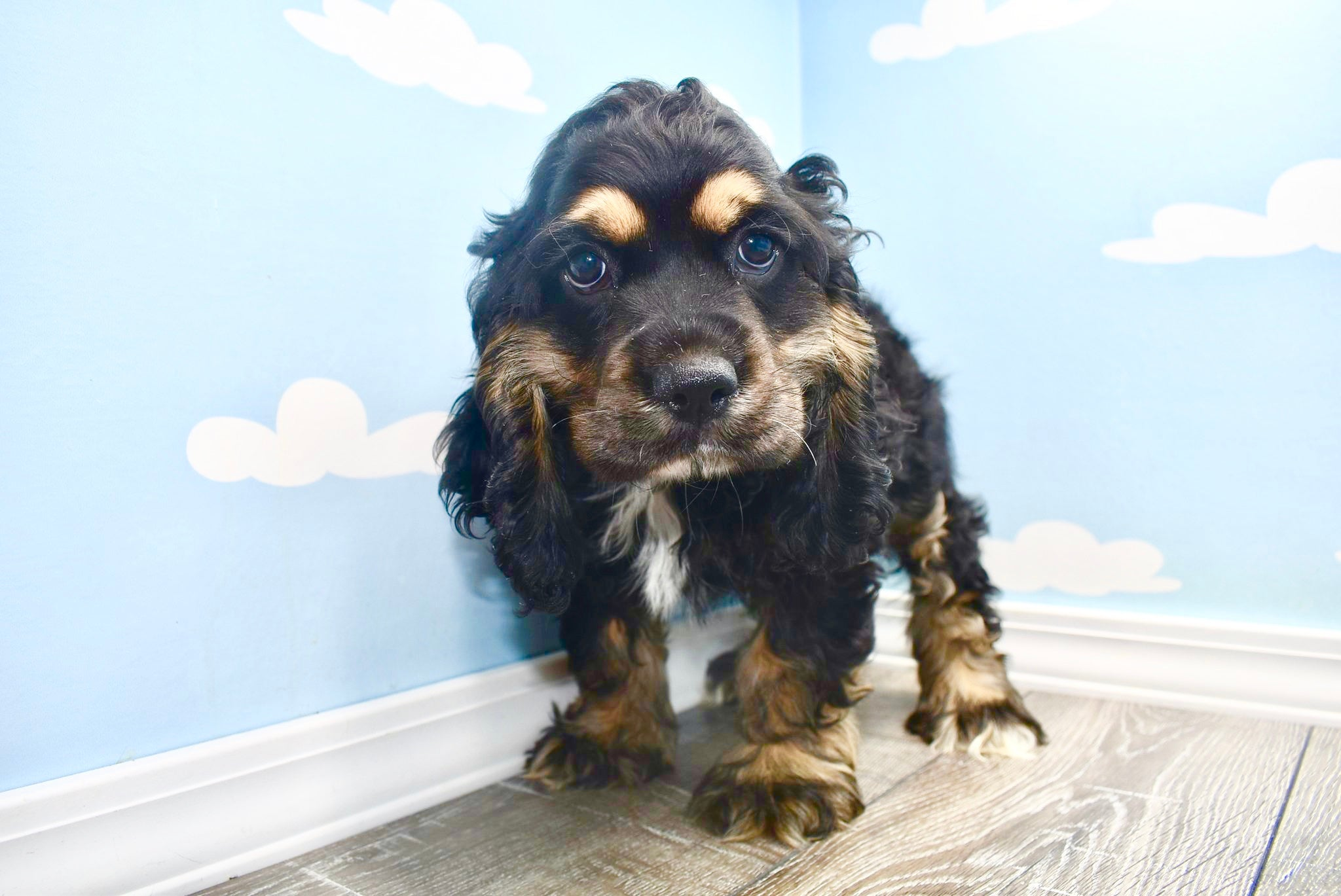 **RESERVED**Georgie *TRAINED* Male Miniature Cockapoo Puppy