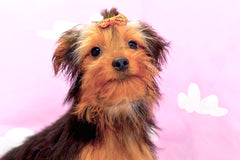 Lottie *TRAINED* Female Teacup Yorkie Puppy