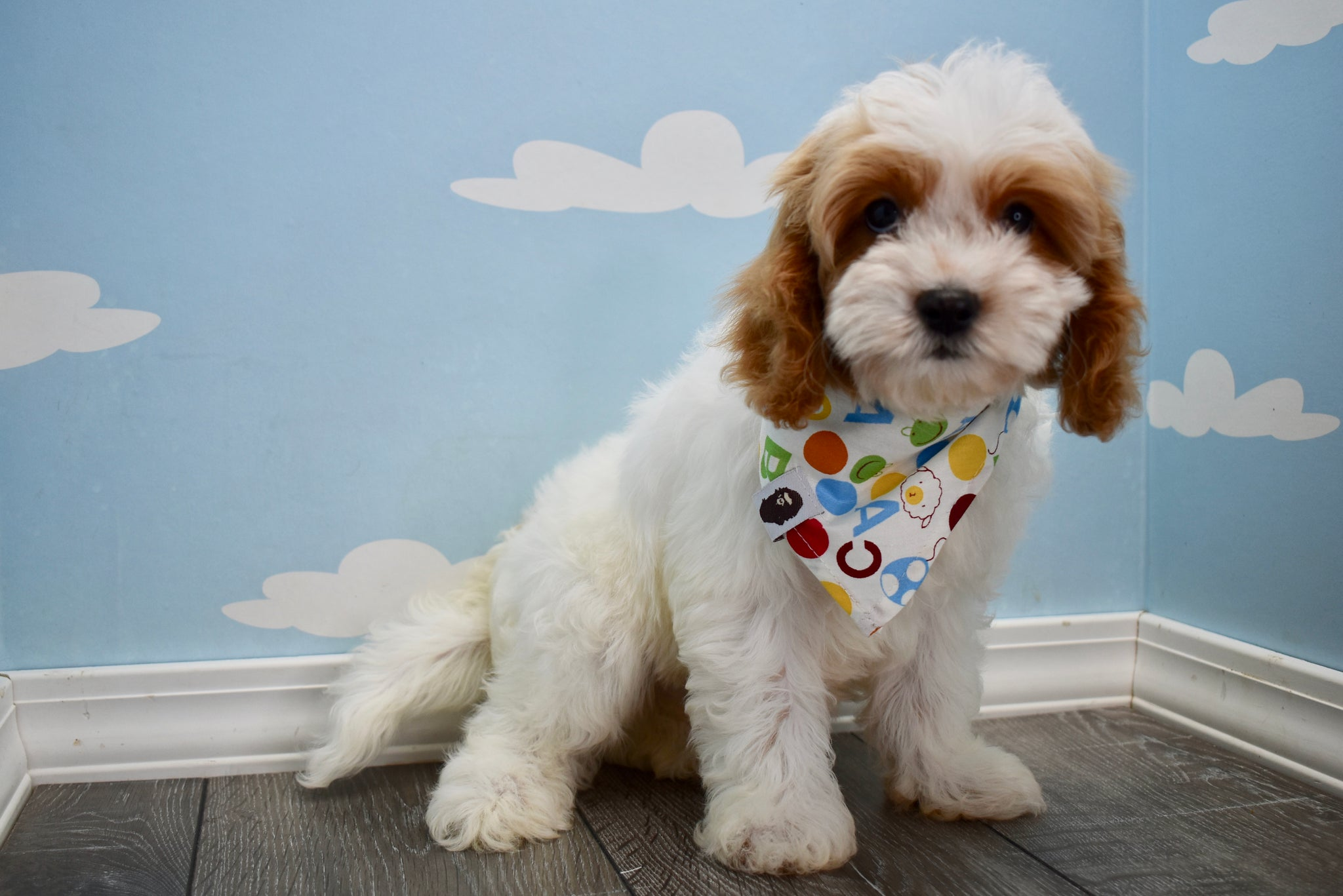 *RESERVED* Homer Male Cavapoo Puppy