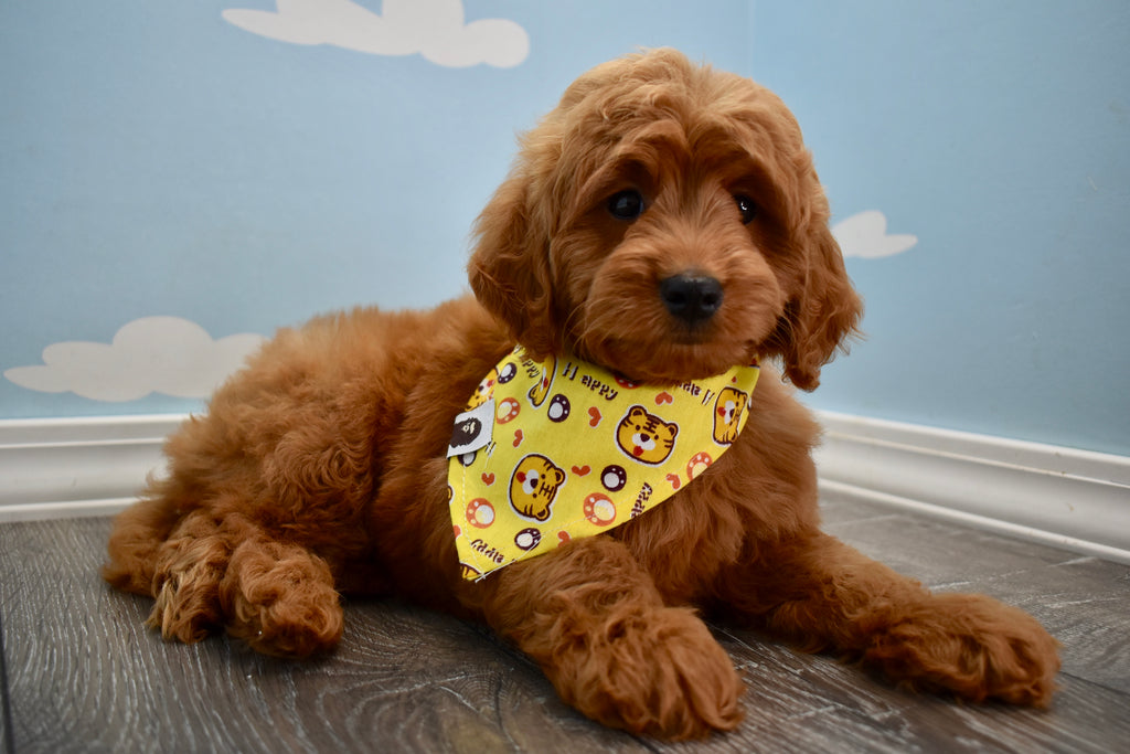 Miniature Goldendoodle Puppies | Happytail Puppies | Dog Breeders NC