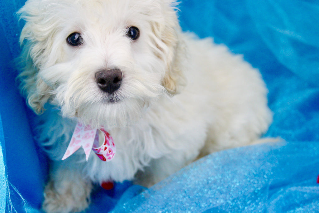 Beck Male Teacup Maltipoo Puppy