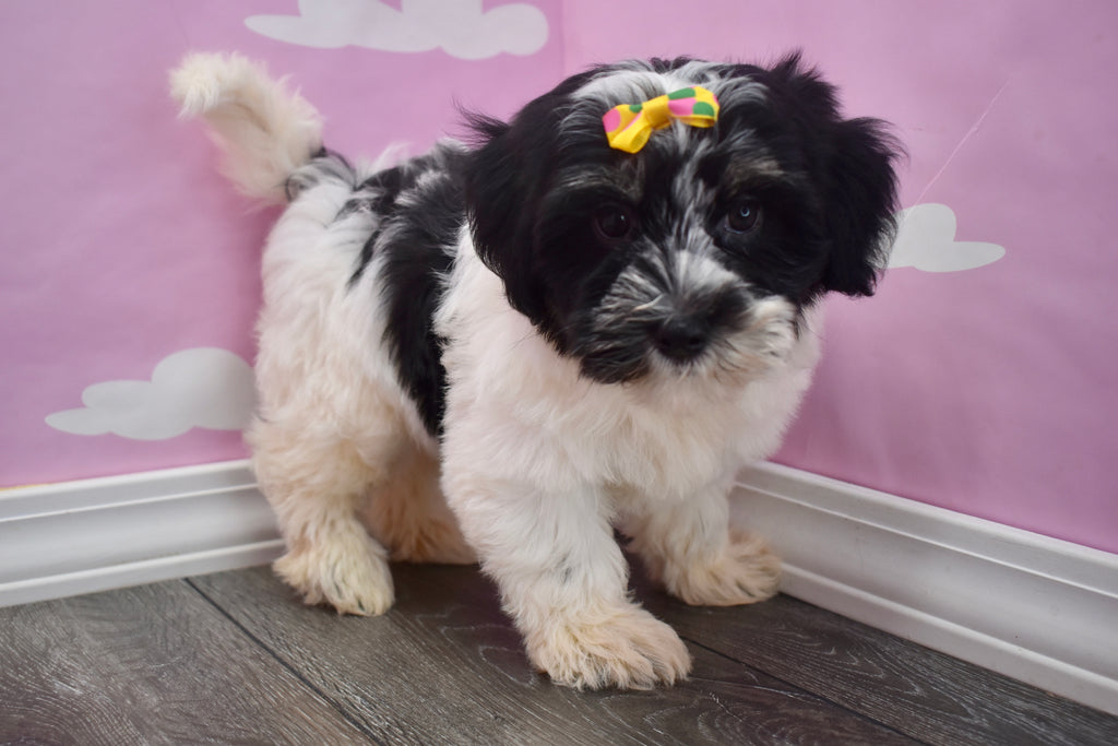 Teacup Havanese Puppies | Happytail Puppies | Family Dog