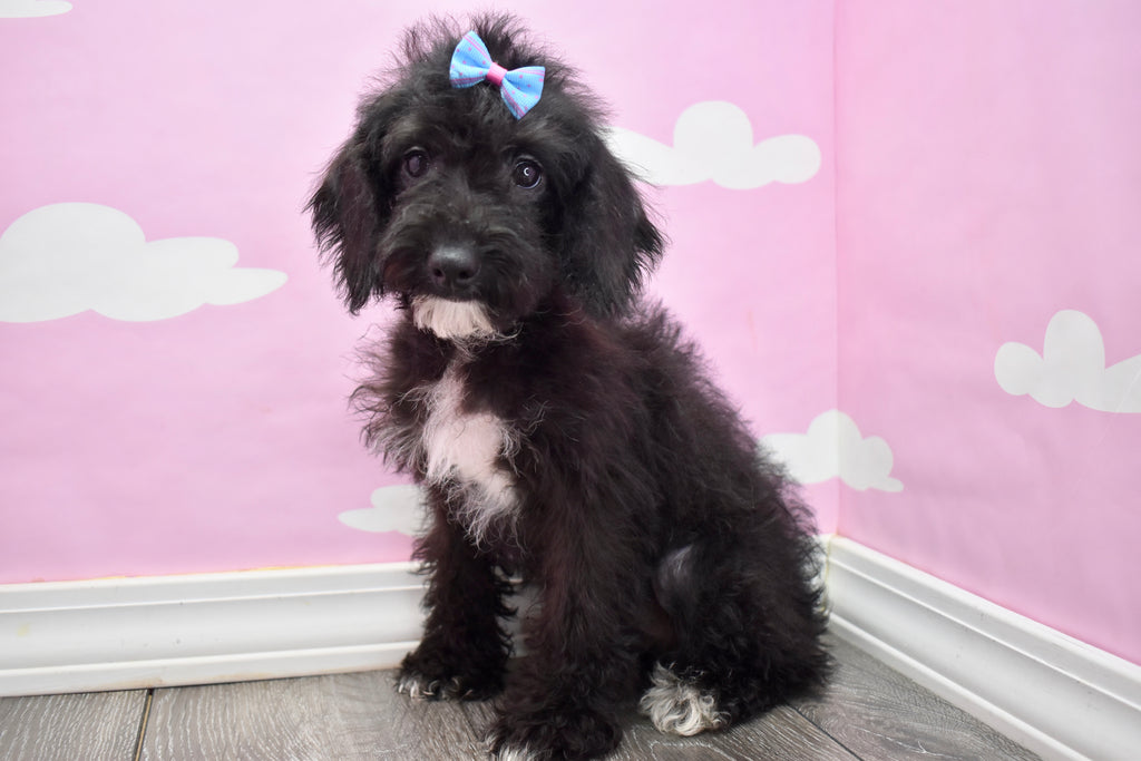 Reba Female *PRE-TRAINED* Miniature Schnoodle Puppy