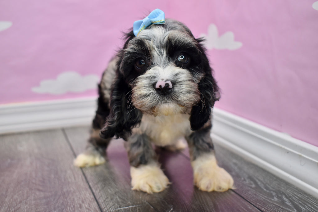 Cockapoo Puppies  Happytail Puppies  Family Dog Breeders In Nc-4539