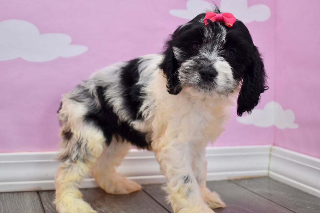 Cockapoo Puppies  Happytail Puppies  Family Dog Breeders In Nc-3298