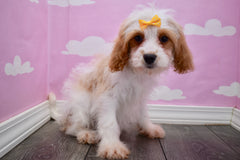Aliza Female Cavachon Puppy