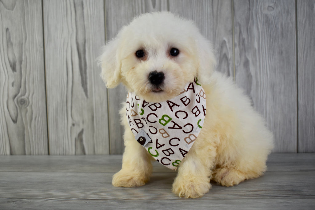 Bichon Frise Puppies | Happytail Puppies | Family Dog
