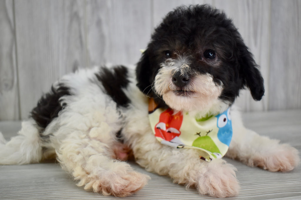 Bich Poo Puppies | Happytail Puppies | Family Dog Breeders in NC