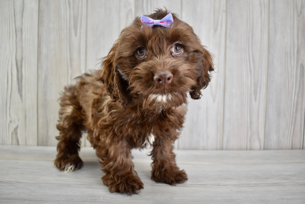 Cockapoo Puppies  Happytail Puppies  Family Dog Breeders In Nc-3459