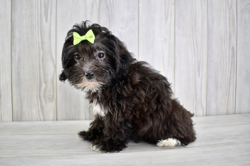 Teacup Maltipoo Puppies | Happytail Puppies | Puppies For