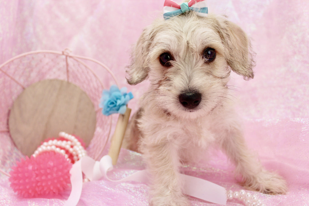 Mable Female Miniature Schnoodle Puppy