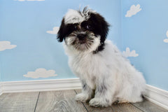 Ajax Male Teacup Shorkie Puppy