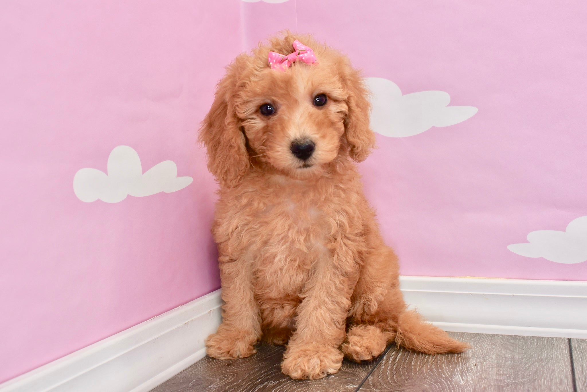 *RESERVED* Emmy Female F1B Miniature Goldendoodle Puppy