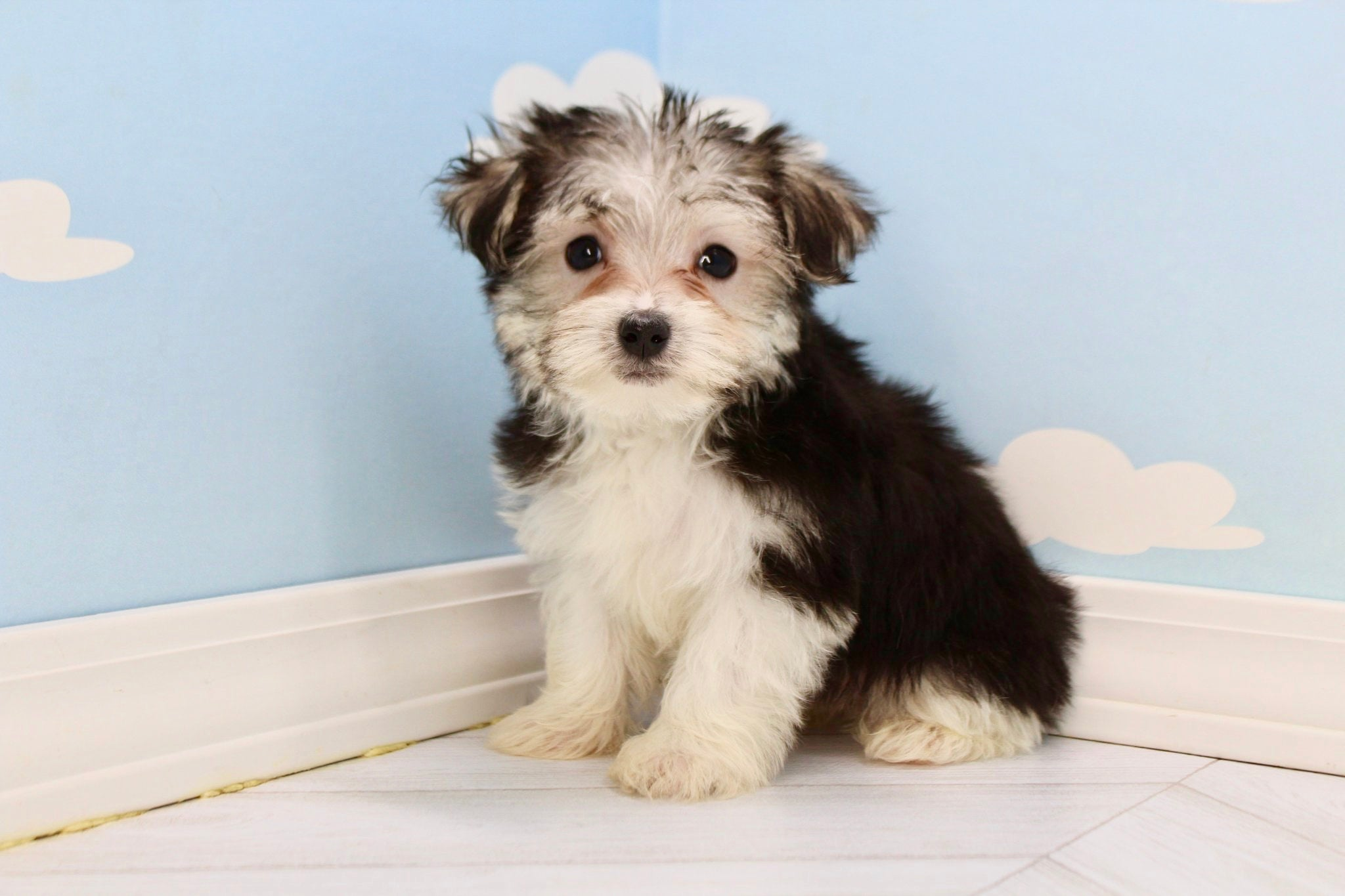 Dandy Male Parti Teacup Morkie Puppy
