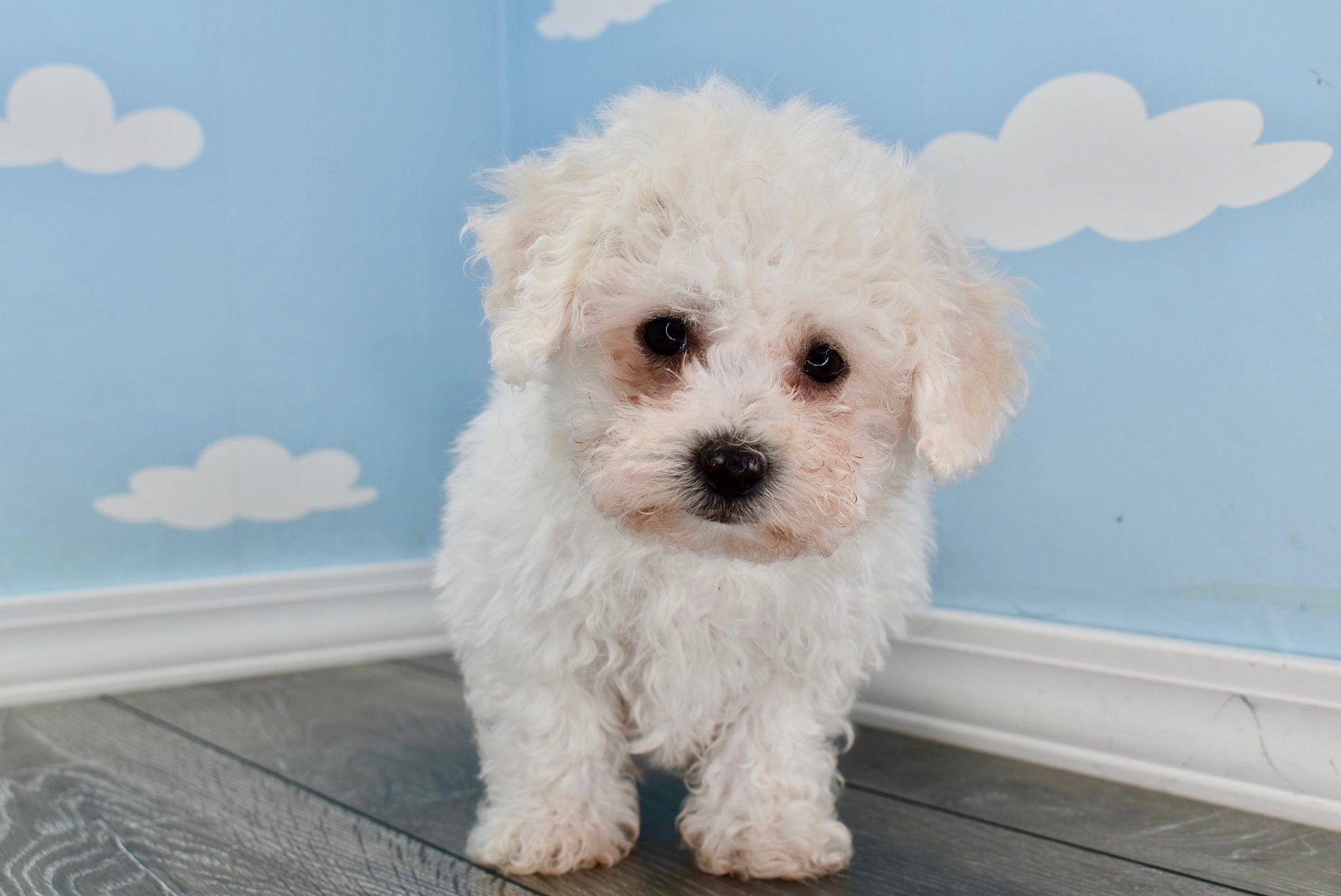 *RESERVED* Carl Male Teacup Daisy Dog Puppy