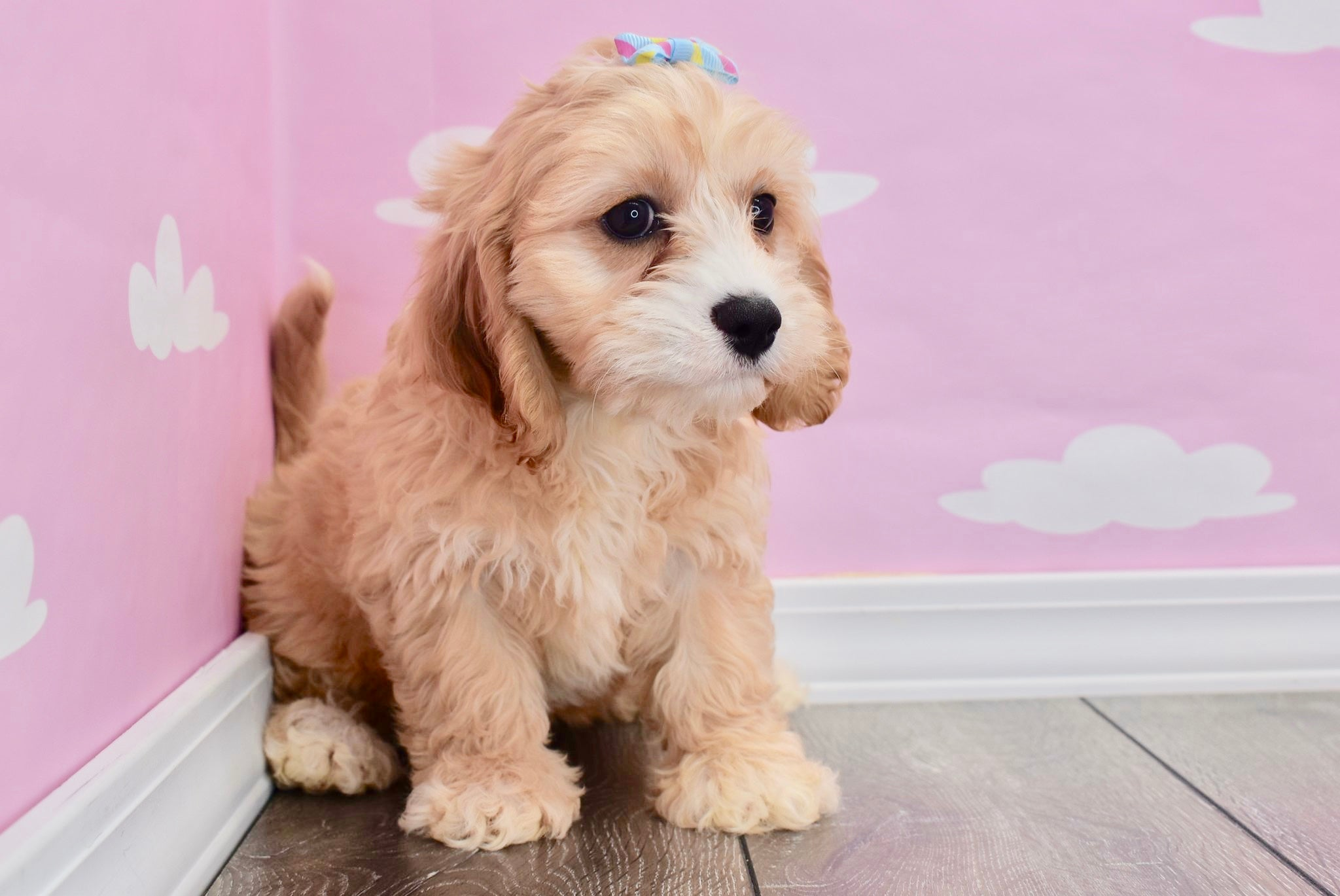 *RESERVED* Blueberry Female Cavapoo Puppy
