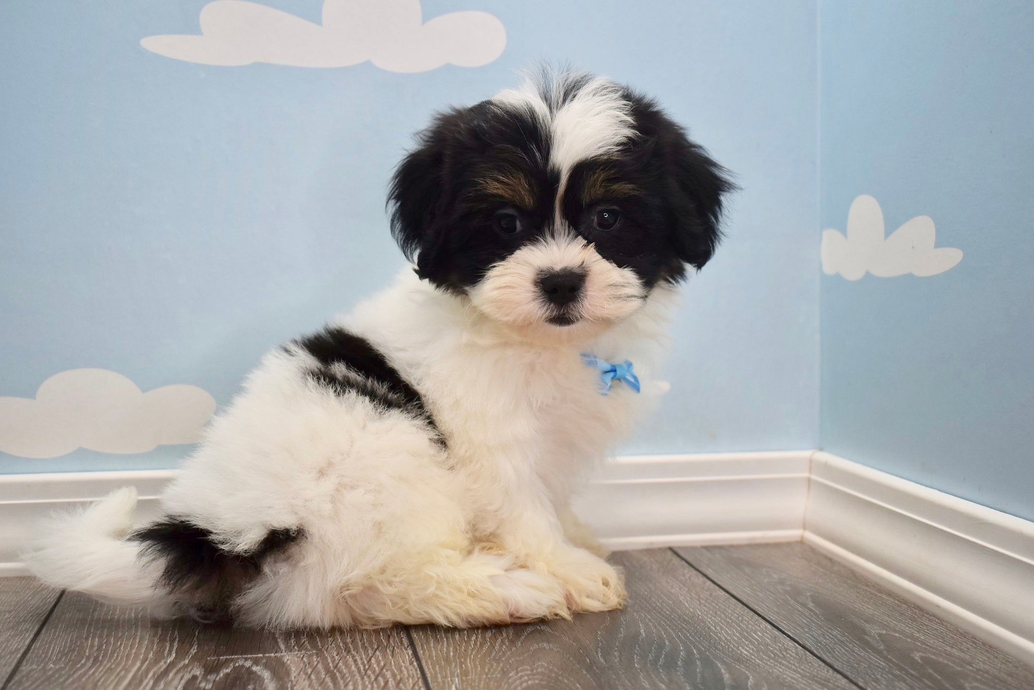 *RESERVED*Gallagher Male Imperial Shih Tzu Puppy