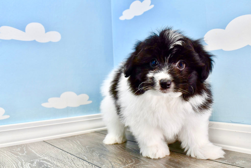 Pablo Male Teacup Pomchon Puppy