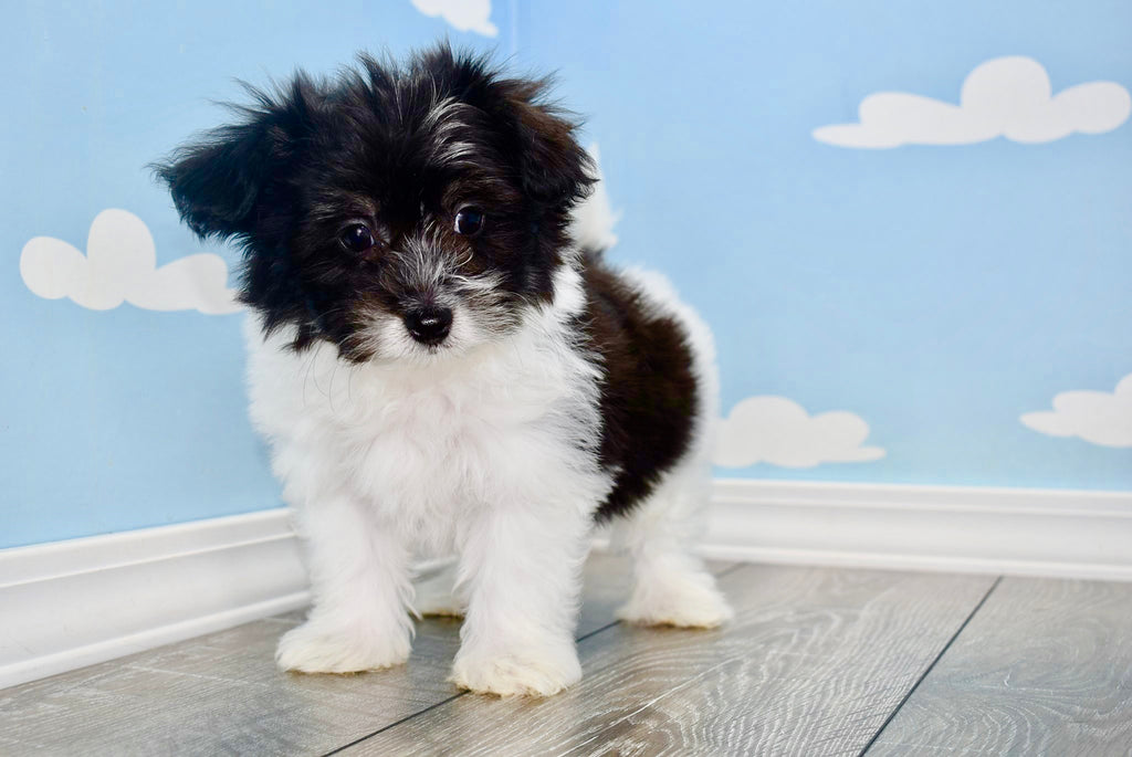Popeye Male Teacup Pomchon Puppy