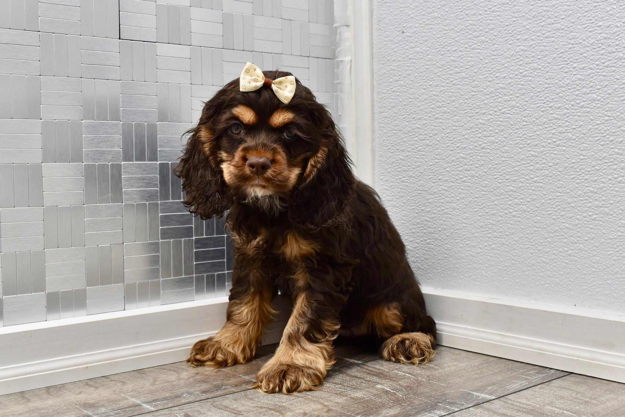 *RESERVED* Haven Female Miniature Cocker Spaniel Puppy