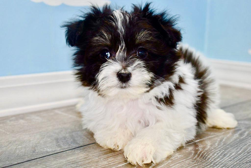 Pierre Male Teacup Pomchon Puppy