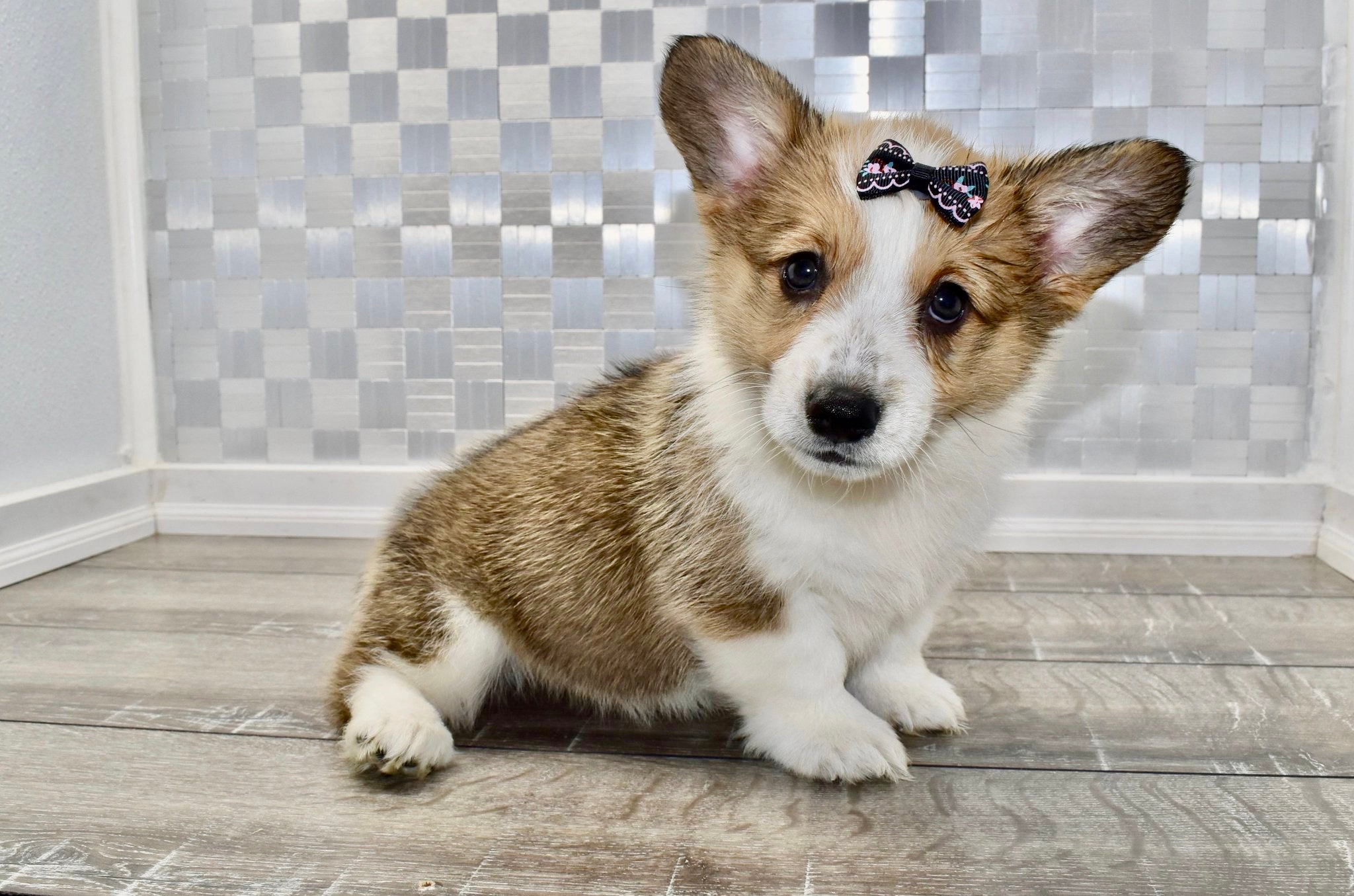 *RESERVED* Sugar Female Pembroke Welsh Corgi Puppy