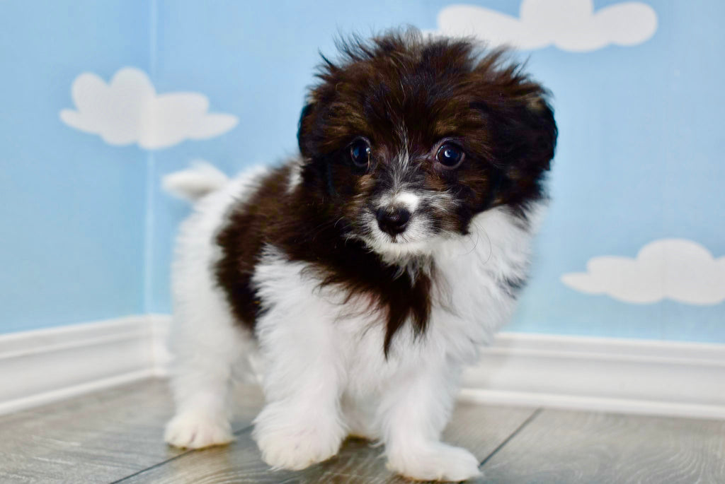 Porkchop Male Teacup Pomchon Puppy