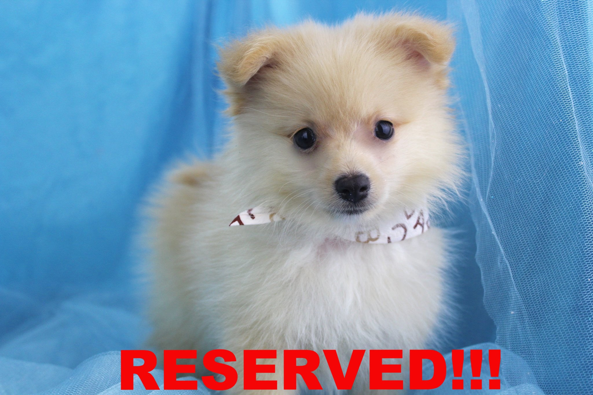 Jagger Male Teacup Pomeranian Puppy