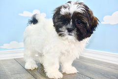 Arnold Male Imperial Shih Tzu Puppy