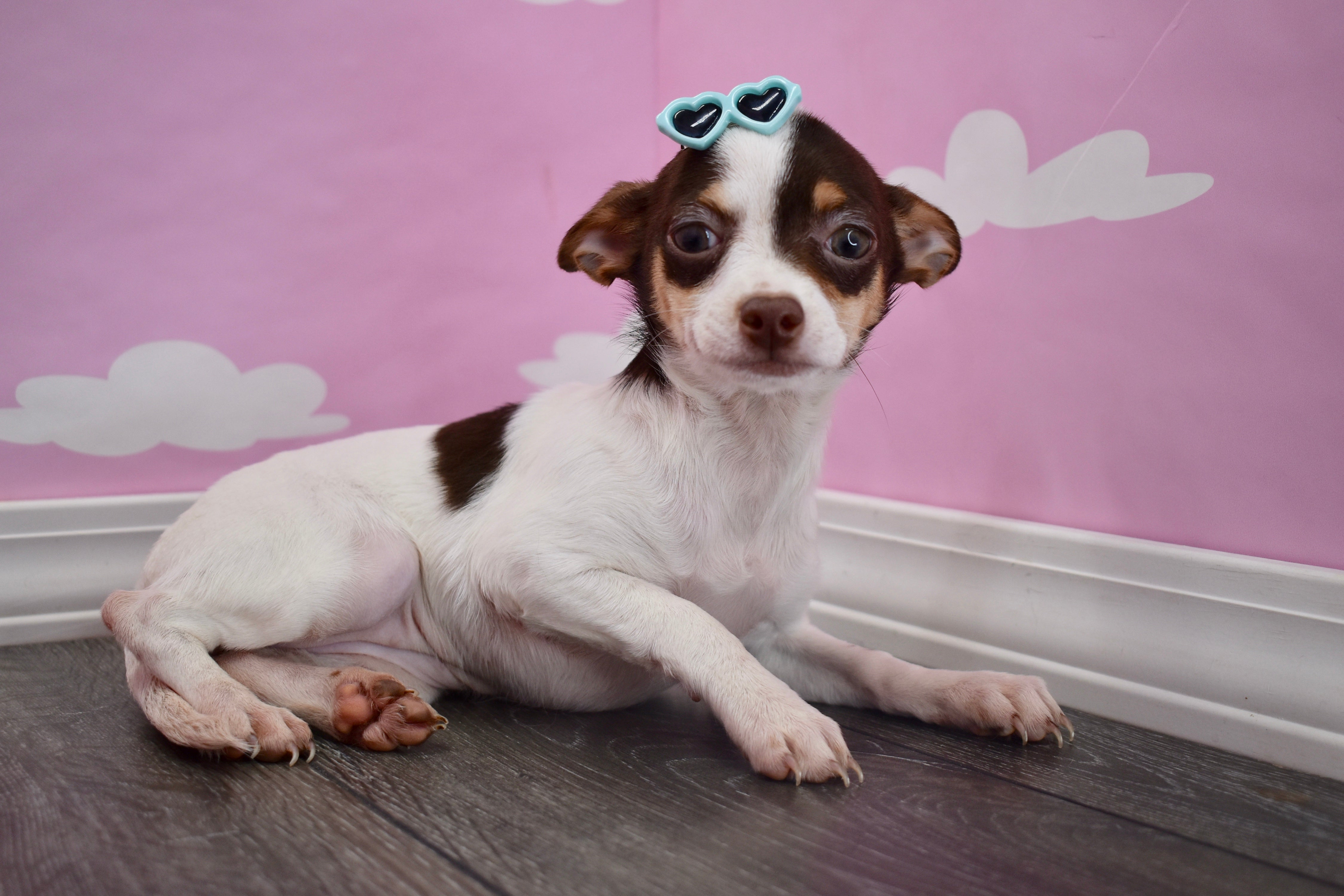 *RESERVED* Hera Female Teacup Chihuahua Puppy