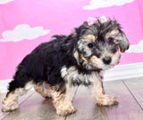 **RESERVED**Betty Female Teacup Morkie Puppy