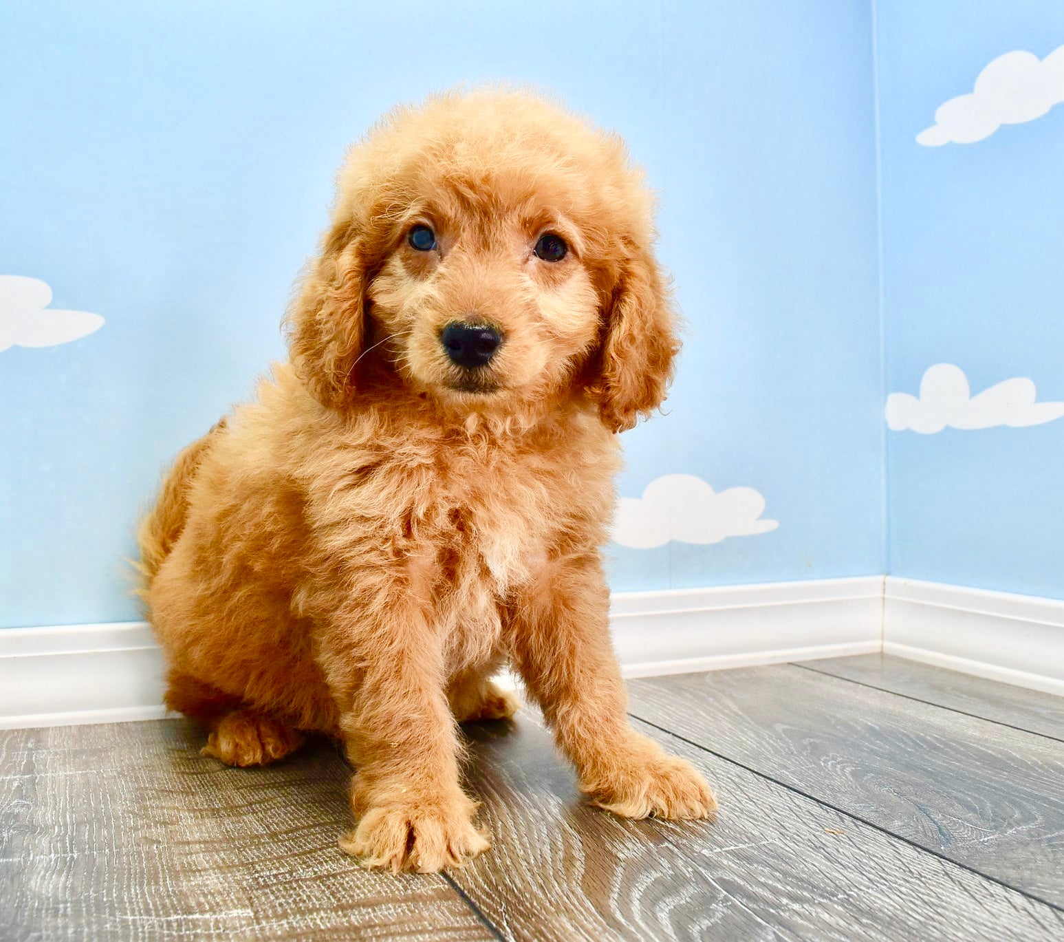 Ozzy Male F1B Miniature Goldendoodle Puppy