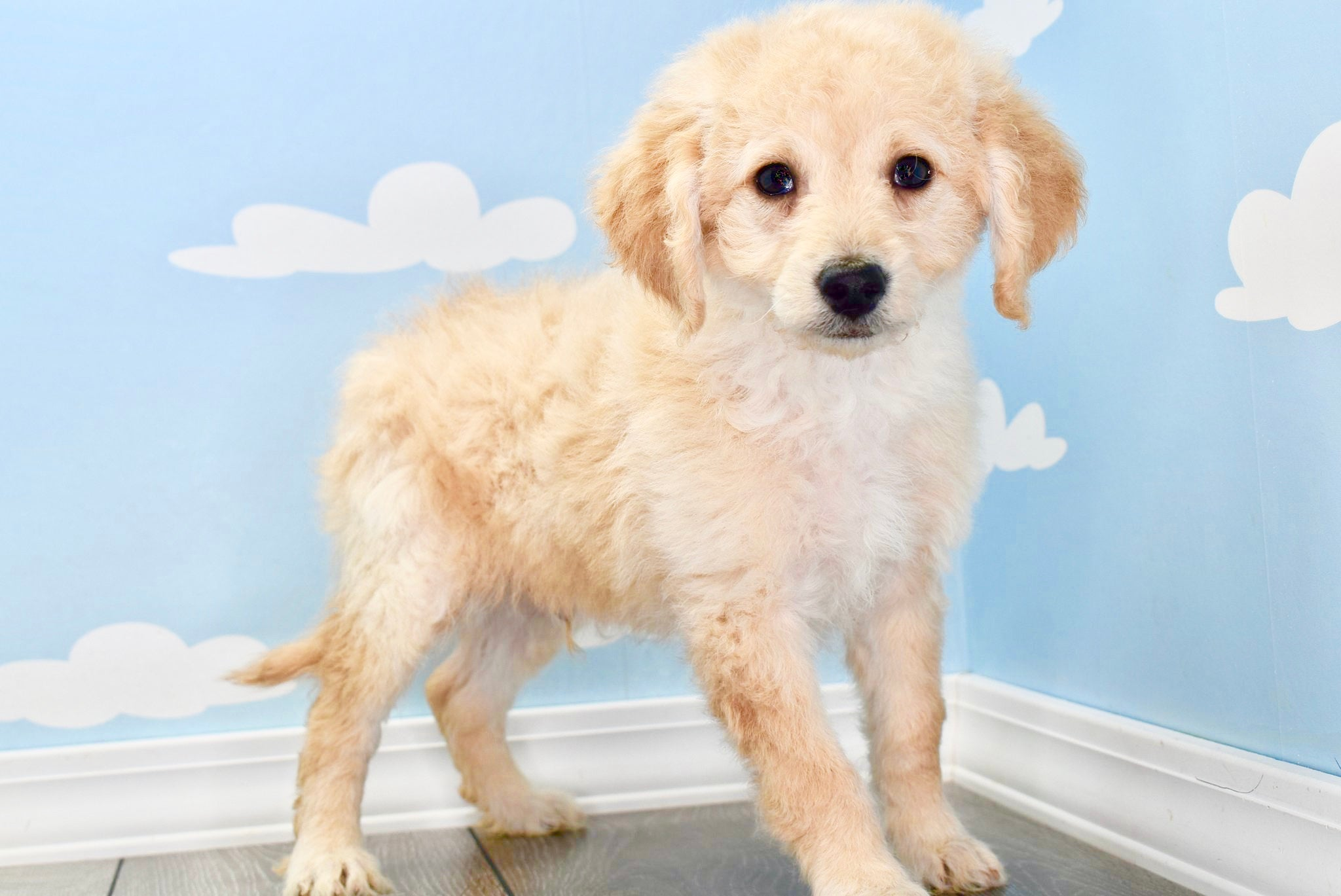 *RESERVED* Zeke Male F1B Miniature Goldendoodle Puppy