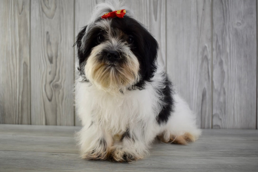 Magnolia Female *PRE-TRAINED* Teacup *AKC REGISTERED* Havanese Puppy