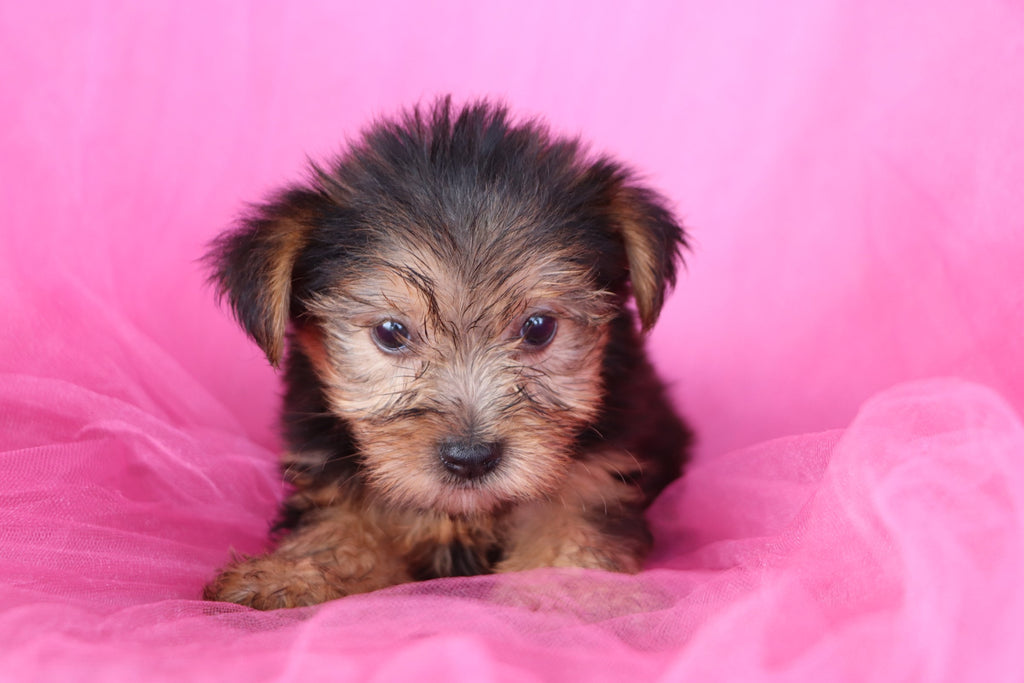 Halo Female Teacup Yorkie Puppy*