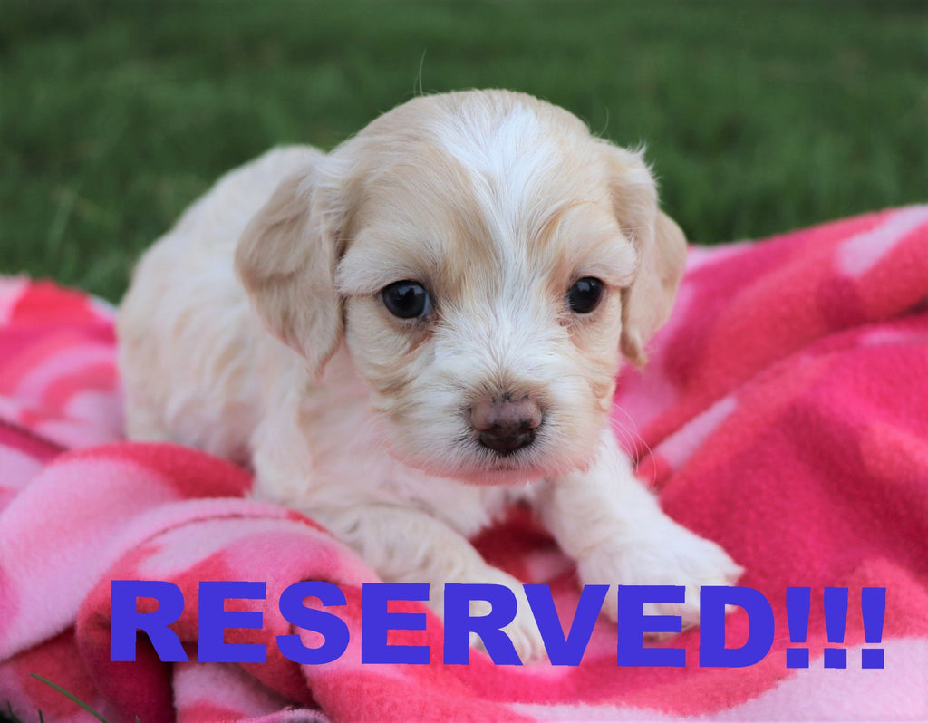 Cockapoo Puppies For Sale In North Carolina  Happytail Puppies-7896