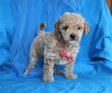 *RESERVED* Joe Male Miniature F2 Goldendoodle Puppy