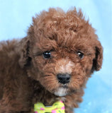 *RESERVED*Storm Male Cavapoo Puppy