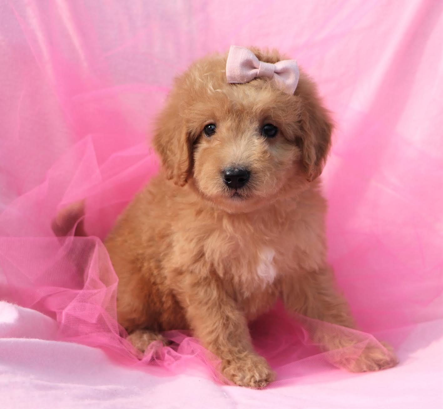 *RESERVED* Female Miniature F1B Goldendoodle Puppy